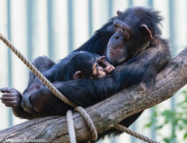 Учёные обнаружили «трендсеттеров» у приматов . Изображение № 1.