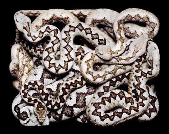 Guido Mocafico иего ЗМЕИ (Serpens). Изображение № 6.