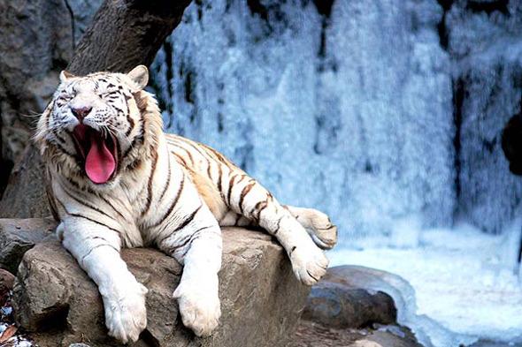 Как выглядят Брэд Питт и амурский тигр вы, наверняка, знаете. Но мало ли.. Изображение № 3.