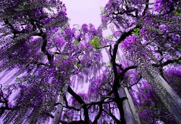 Цветочные водопады Асикага. Изображение № 2.