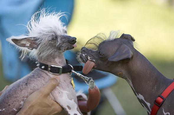 Конкурс: самые уродливые собаки. Изображение № 8.