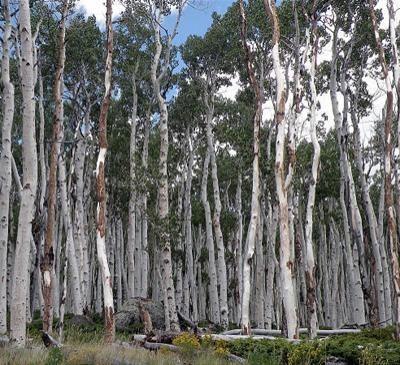 Искусство природы. Старейшие деревья в мире. Изображение № 2.