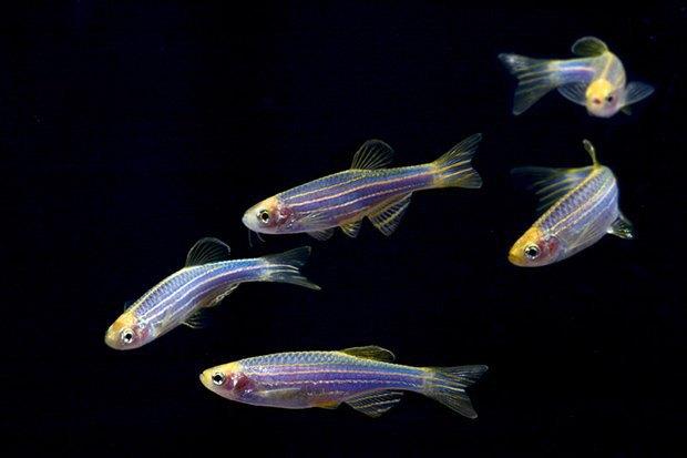 Что такое ГМО: «золотой рис», рыбки-хамелеоны и голубые розы. Изображение № 3.