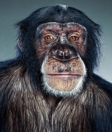 "Jill Greenberg ""Monkey portraits"". Изображение № 37."