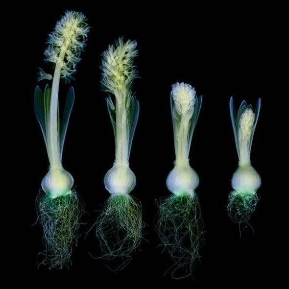 Изображение 1. Цветы под рентгеном.. Изображение № 1.