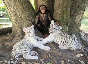 В мире животных: Герои «Мадагаскара» в мемах, рекламе и видеороликах. Изображение № 98.