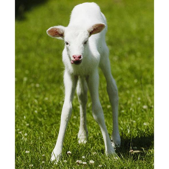 Животные-альбиносы. Изображение № 10.