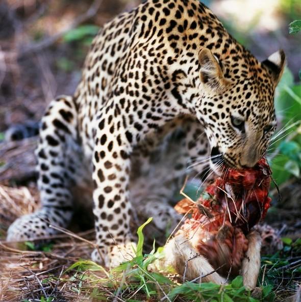 Лев. Леопард. Африка. Изображение № 8.