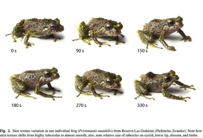 Обнаружен вид меняющей текстуру кожи лягушки. Изображение № 1.
