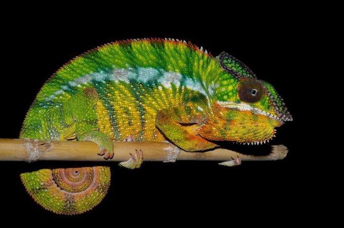 На Мадагаскаре обнаружили 11 новых видов хамелеонов . Изображение № 1.