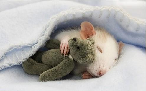 Фотосессия крысят отJessica Florence. Изображение № 4.