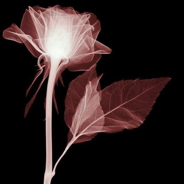 Изображение 17. Цветы под рентгеном.. Изображение № 16.