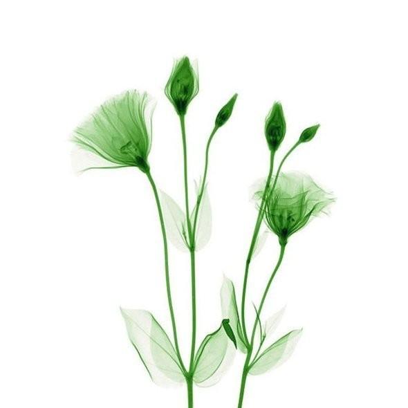 Изображение 21. Цветы под рентгеном.. Изображение № 20.