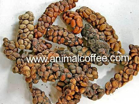 Процесс производства одного изэлитных сортов кофе. Изображение № 4.
