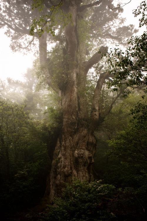 Искусство природы. Старейшие деревья в мире. Изображение № 10.