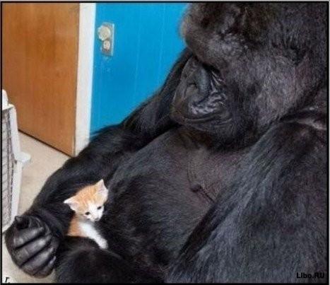 Говорящая горилла Коко. Изображение № 3.
