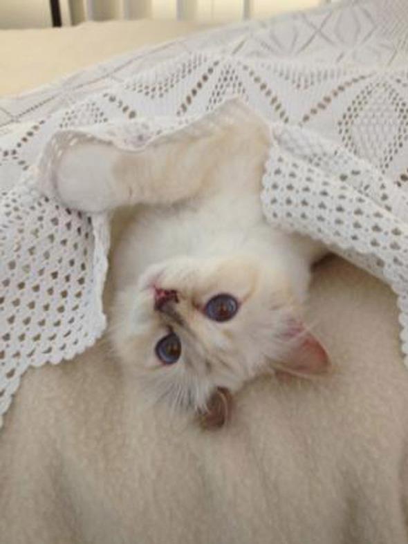 Кошка Карла Лагерфельда снялась для i-D. Изображение № 7.