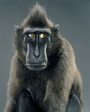 "Jill Greenberg ""Monkey portraits"". Изображение № 44."