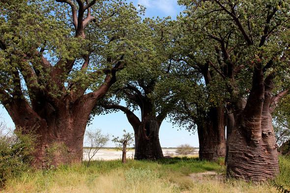 Остров баобабов в Ботсване. Изображение № 2.
