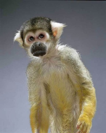 "Jill Greenberg ""Monkey portraits"". Изображение № 54."