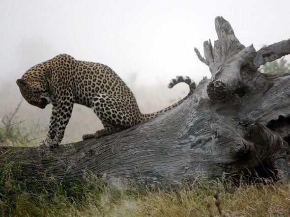 Leopard, South Africa. Изображение № 22.