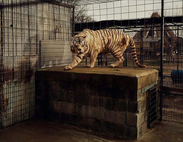 Белый Тигр (Кенни). Отборное Межродственное скрещивание, Заповедник Creek Wildlife Refuge и Фонд Эврика-Спрингс (Арканзас). В Соединенных Штатах все живущие белые тигры появились в результате отборного межродственного скрещивания, целью которого является получение меха белого цвета, синих глаз и розовых носов. Кенни родился у селекционера в Бентонвиле (Арканзас) 3 февраля 1999. В результате межродственного скрещивания белый тигр является умственно отсталым и имеет существенные физические отклонения. Из-за глубокопосаженного носа у него затрудненное дыхание и изуродованные зубы, а неправильная структура кости в предплечьях является причиной хромоты. Три других белых тигра из того же выводка, что и Кенни, считаются «некачественными белыми тиграми», поскольку они несколько желты, косоглазы и трусливы.. Изображение № 4.