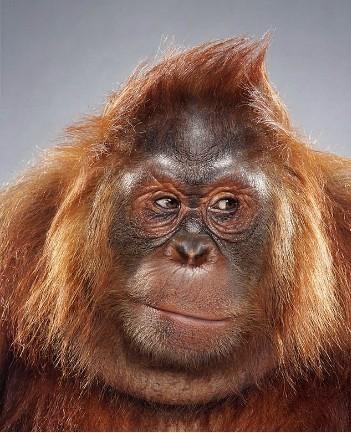 """Jill Greenberg """"Monkey portraits"""". Изображение № 2."""