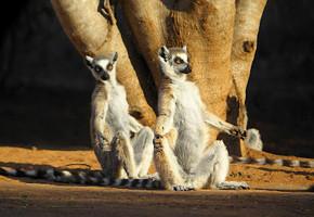 В мире животных: Герои «Мадагаскара» в мемах, рекламе и видеороликах. Изображение № 82.