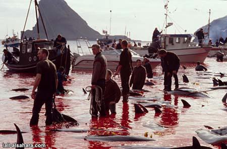 Убийство дельфинов вДании. Изображение № 7.