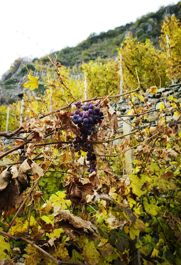 Горный виноград Nebbiolo. Изображение № 10.