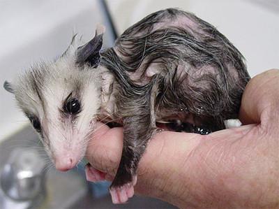 50 животных, которые ненавидят мыться. Изображение № 7.