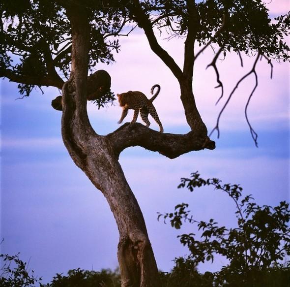 Лев. Леопард. Африка. Изображение № 5.