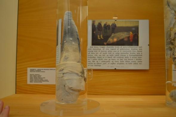 Фаллологический музей вернулся в Рейкьявик. Изображение № 4.