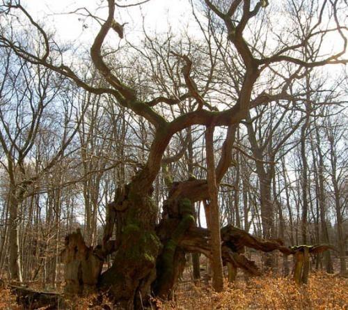 Искусство природы. Старейшие деревья в мире. Изображение № 14.
