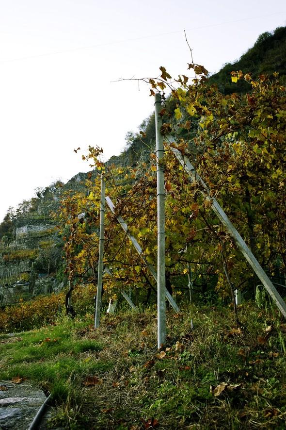 Горный виноград Nebbiolo. Изображение № 6.