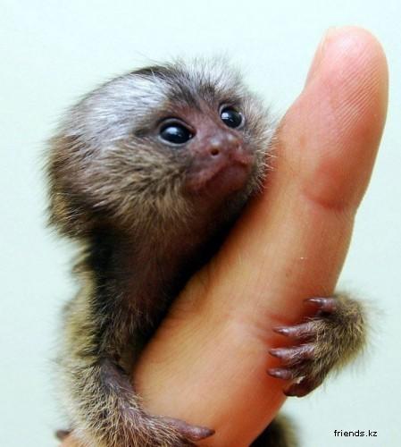 Самая маленькая обезьянка вмире. Изображение № 1.