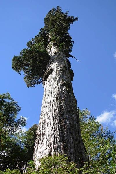 Искусство природы. Старейшие деревья в мире. Изображение № 8.