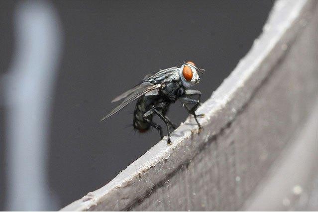 Учёные научились управлять мухой с помощью лазера. Изображение № 1.