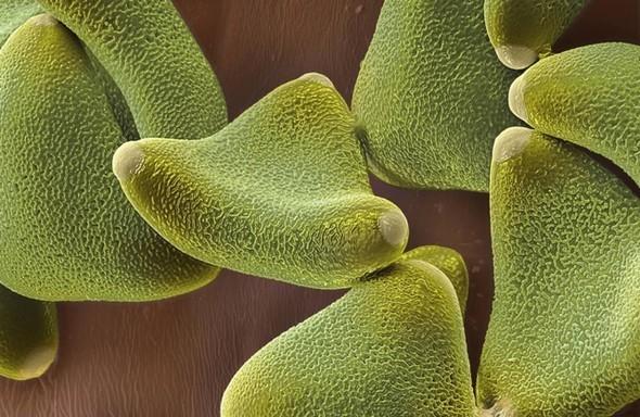 Микроскоп-2: Пыльца. Изображение № 8.