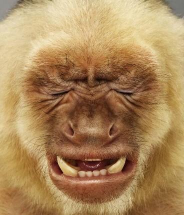 """Jill Greenberg """"Monkey portraits"""". Изображение № 39."""