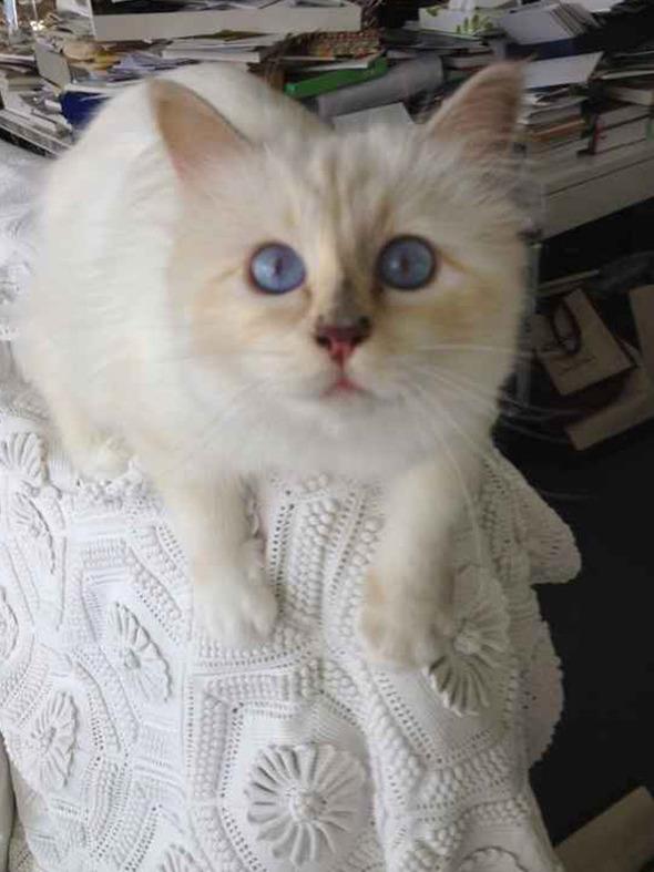 Кошка Карла Лагерфельда снялась для i-D. Изображение № 4.
