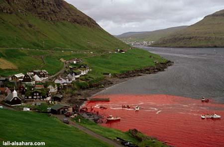 Убийство дельфинов вДании. Изображение № 9.
