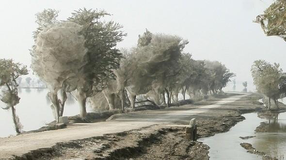 Изображение 6. Паучьи сети в Пакистане.. Изображение № 6.