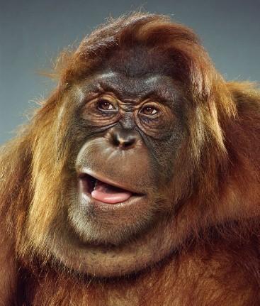 """Jill Greenberg """"Monkey portraits"""". Изображение № 32."""