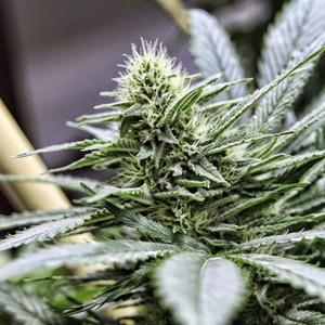 Как изменилась жизнь в Колорадо после легализации марихуаны