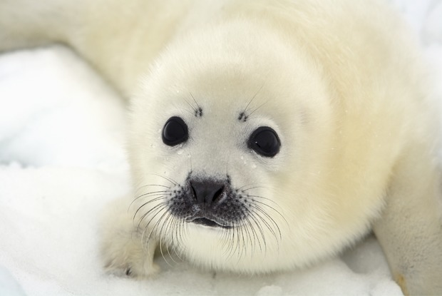 Что делать при встрече с тюленем?  — Комментарий на The Village