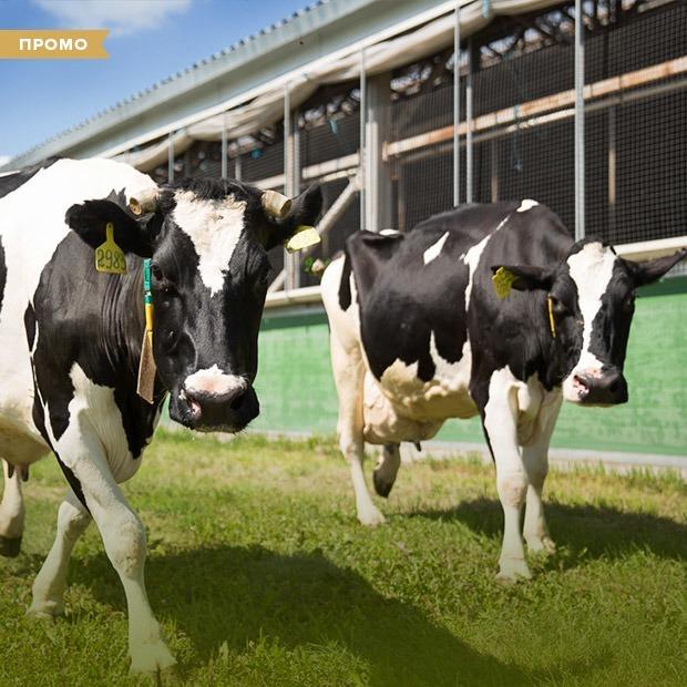 Как устроена молочная ферма