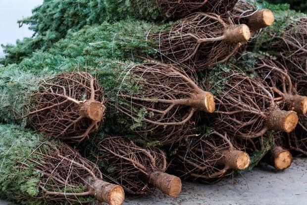 Как выбрать новогоднюю елку? — Гид The Village на The Village