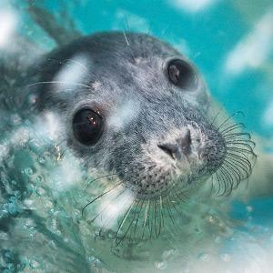 Как спасают нерп и тюленей в Репино