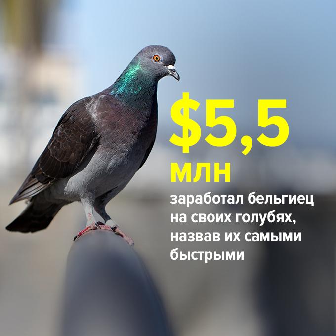 ...заработал бельгиец на своих голубях, назвав их самыми быстрыми — Цифра дня на The Village